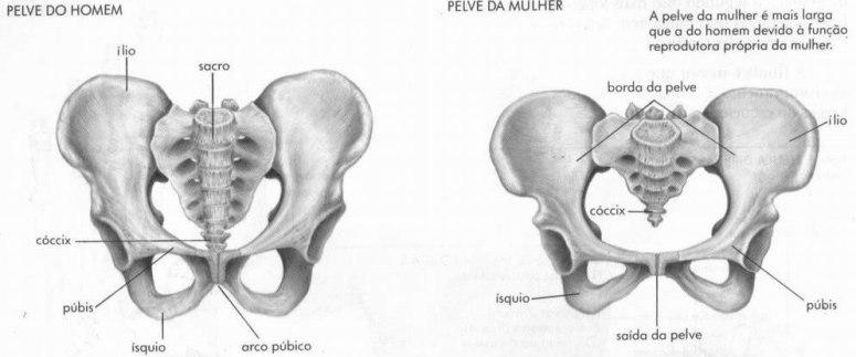 Resultado de imagem para diferença de pelve masculina e feminina